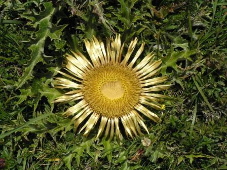 Eguzkilore, la flor del Sol.